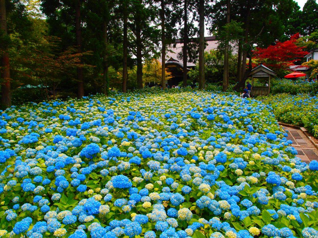 雲昌寺の紫陽花